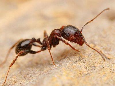 Муравьи жнецы - уход, питание, среда обитания и срок жизни 20