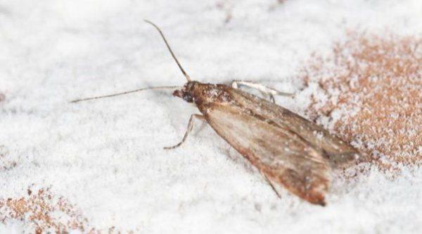 Бабочка моли мотылек