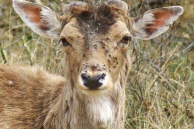 Лосиные вши опасности для животных